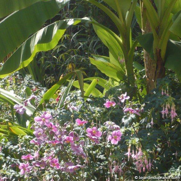 Anemone Splendens