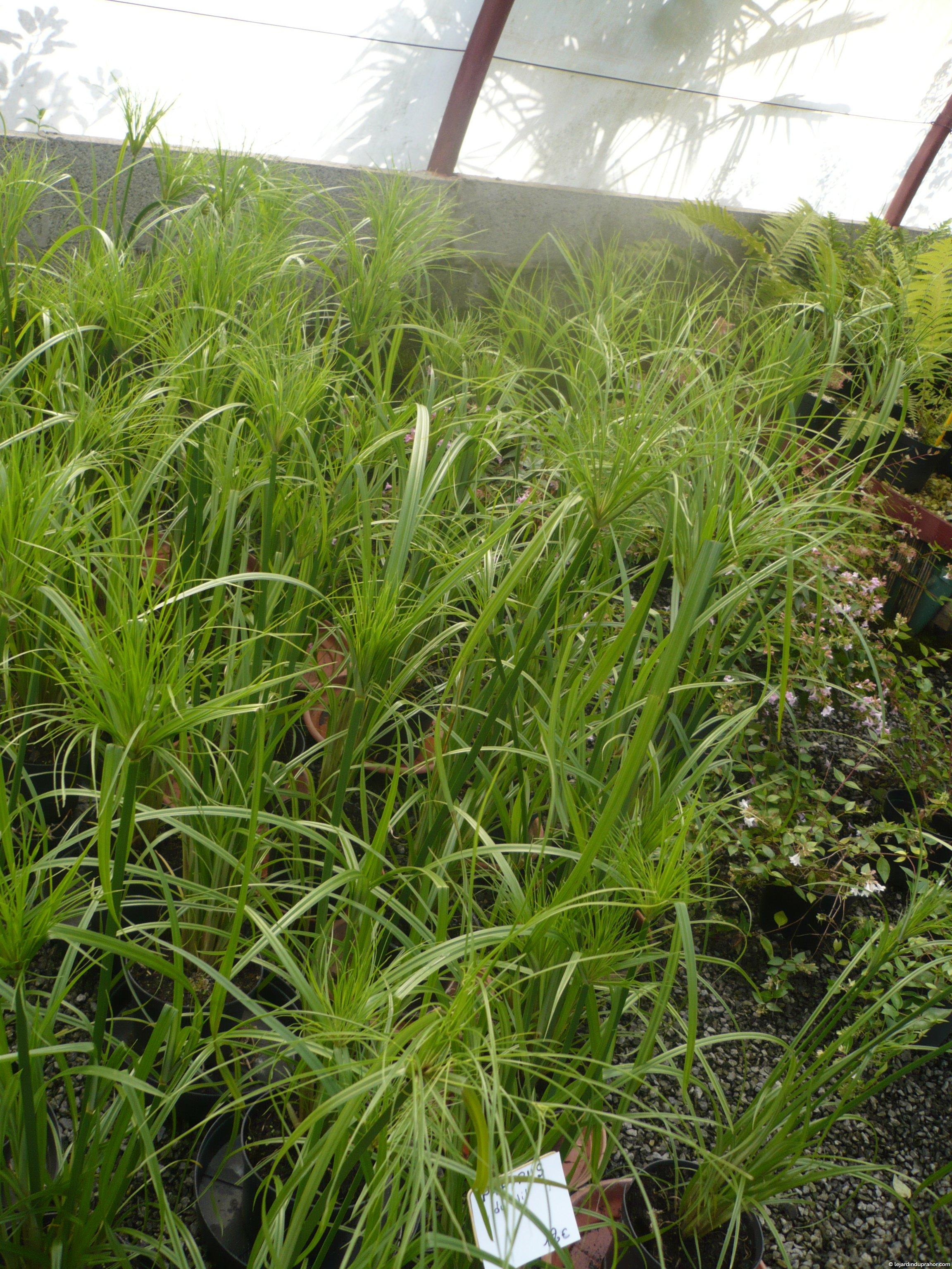 Cyperus papyrus le jardin du prahor for Jardin du nil red wine