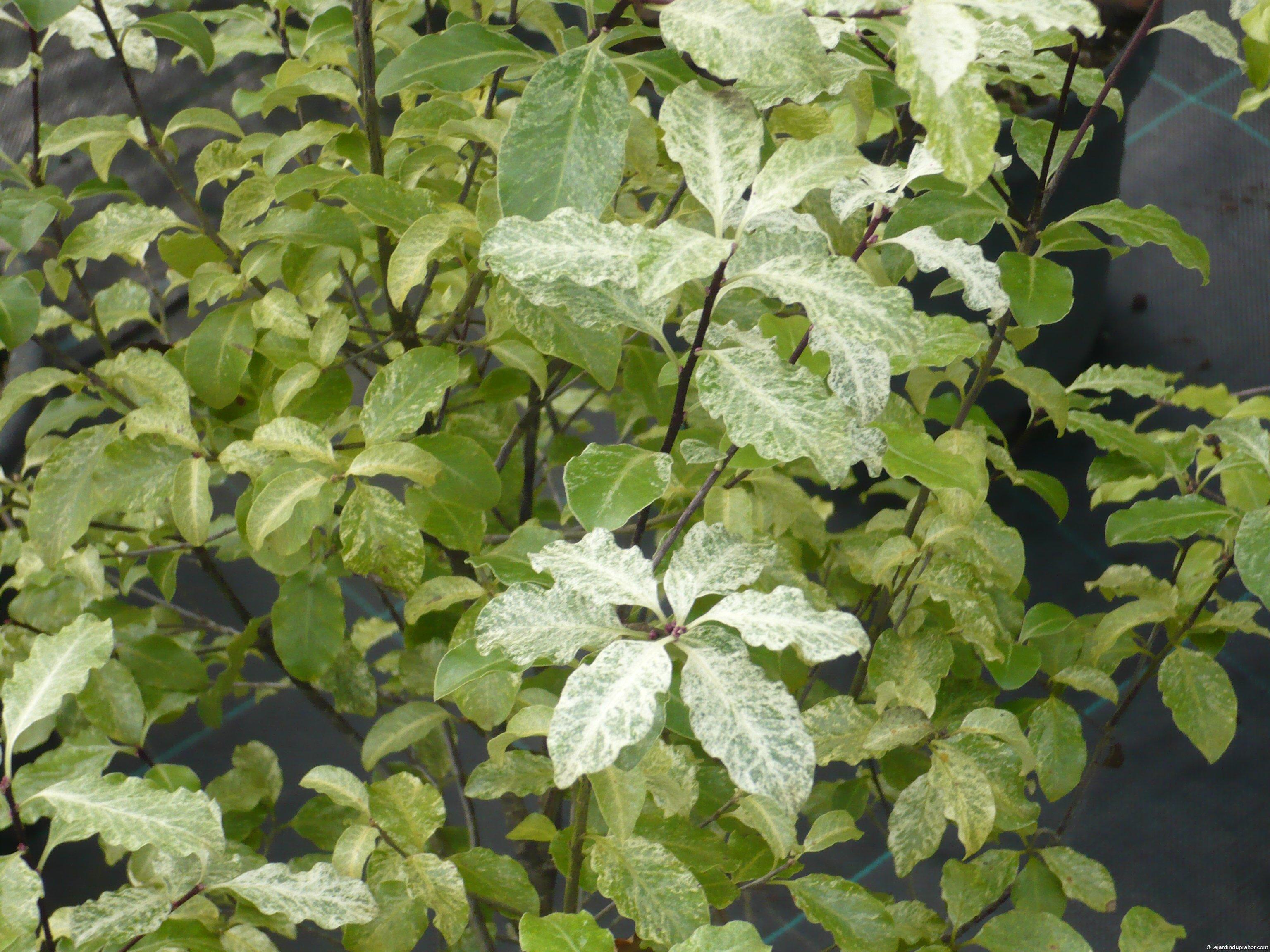 Pittosporum tenuifolium variegatum le jardin du prahor - Pittosporum tenuifolium variegatum taille ...