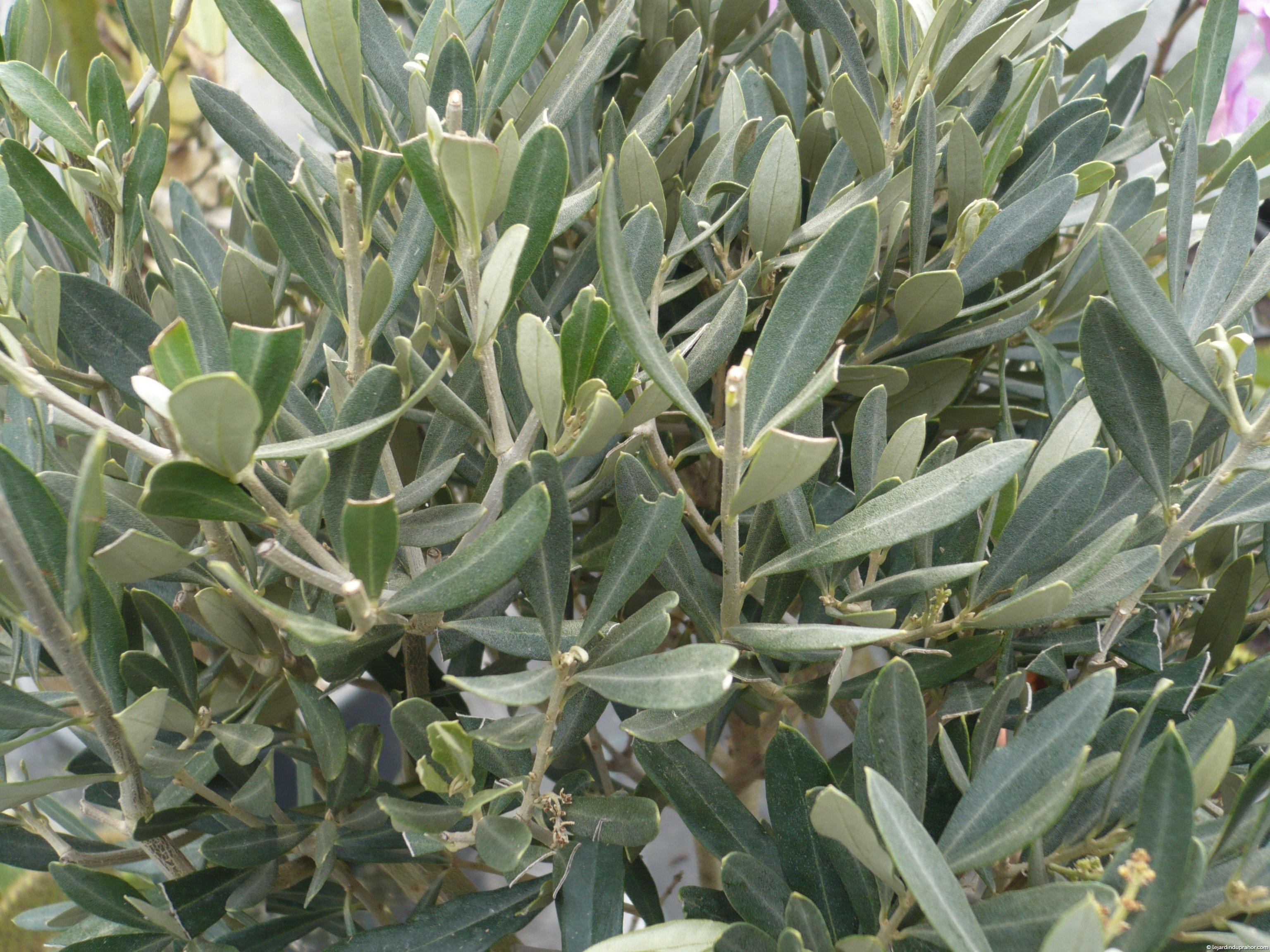 olivier commun en 1/2 tige ou en touffe - Le Jardin du Prahor