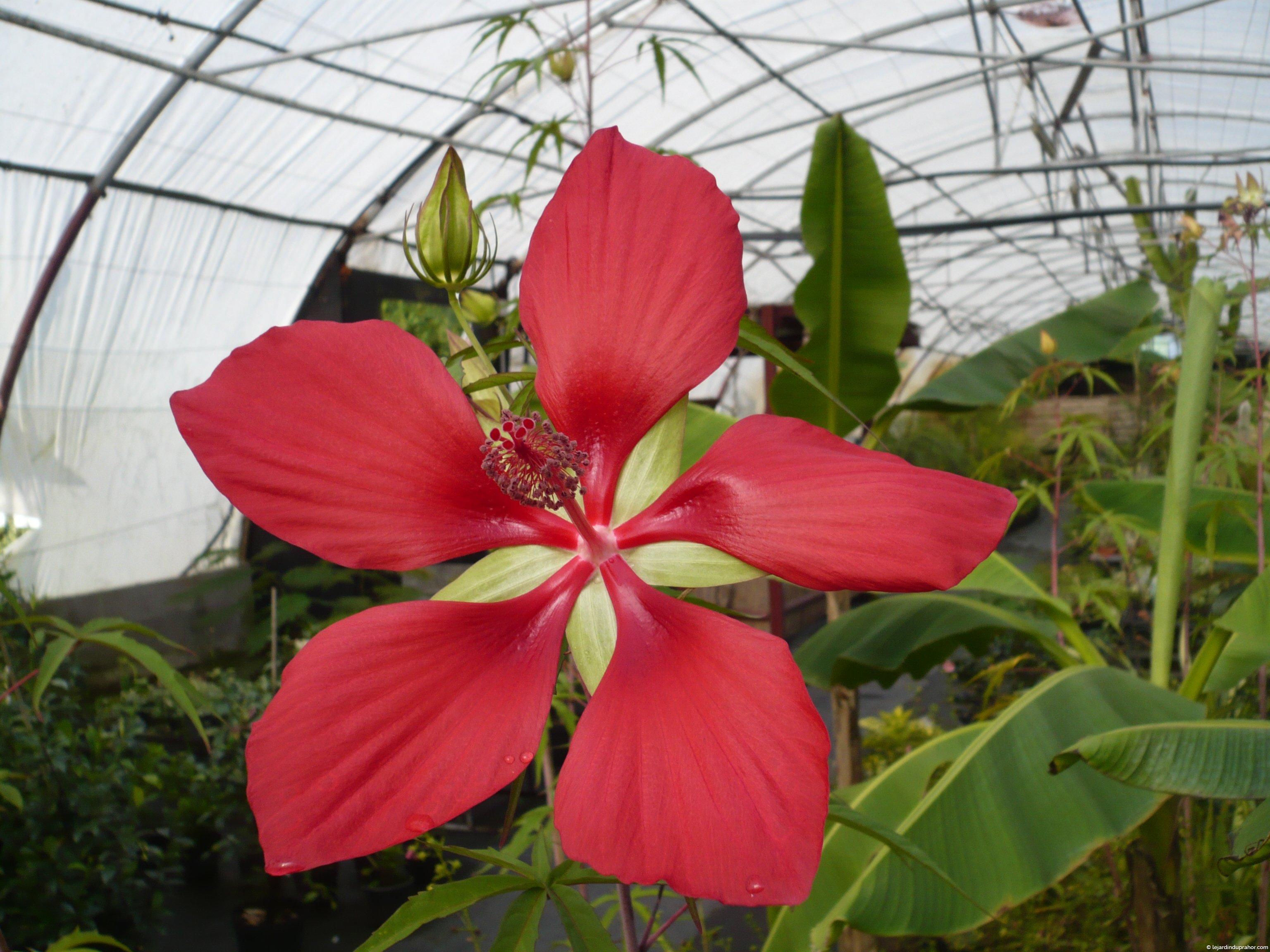 Hibiscus Coccineus - Le Jardin du Prahor
