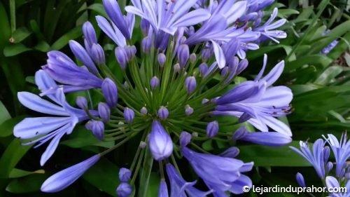 Agapanthe Africanus Bleue