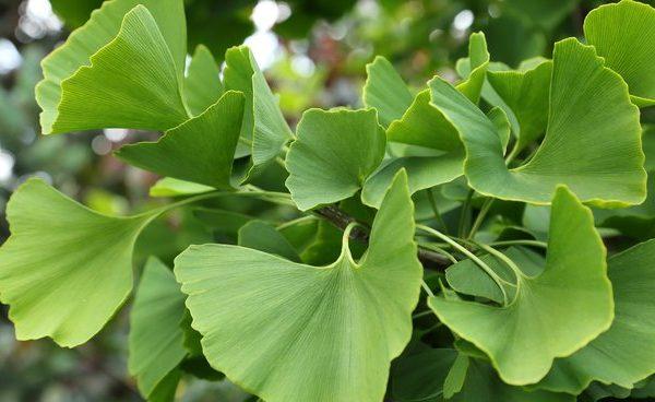 ginkgo biloba arbre aux 40 cus le jardin du prahor. Black Bedroom Furniture Sets. Home Design Ideas