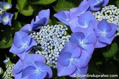 hortensia fleur plate bleue le jardin du prahor. Black Bedroom Furniture Sets. Home Design Ideas
