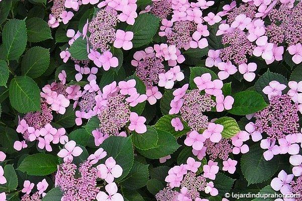 hortensia fleur plate rose le jardin du prahor. Black Bedroom Furniture Sets. Home Design Ideas