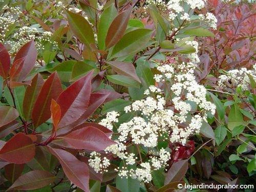 photinia red robin le jardin du prahor. Black Bedroom Furniture Sets. Home Design Ideas