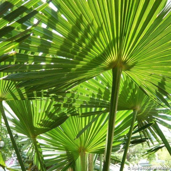 trachycarpus-wagnerianus