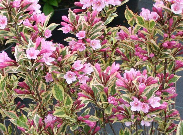 weigleia-florida-variegata
