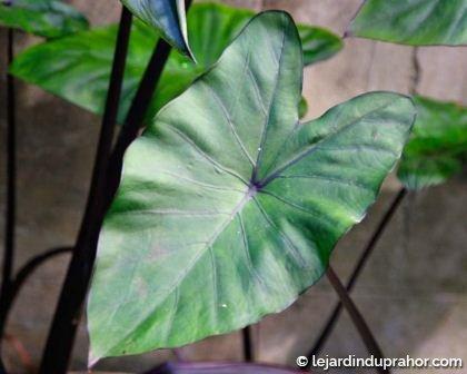 Colocasia Esculenta Fontanesii