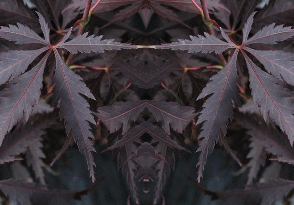 Acer Palmatum Black Lace