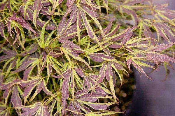 Acer Palmatum Manyo no Sato