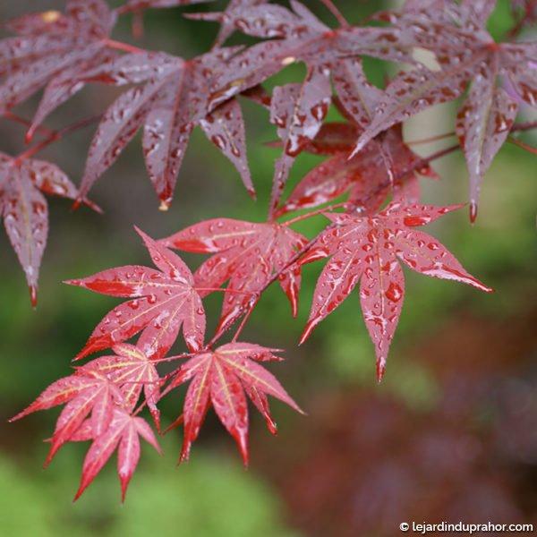 Acer Palmatum Yezo Nishiki