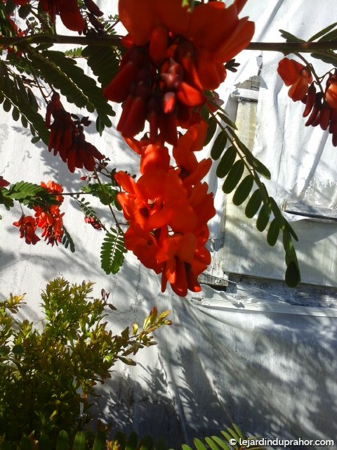 Sesbania Punicea Flamboyant de Hyères