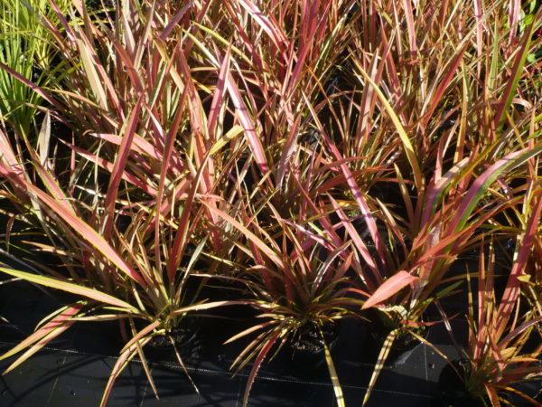 Phormium Jester ou Lin de Nouvelle Zélande