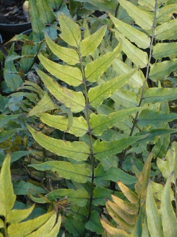 cyrtomium fortunei