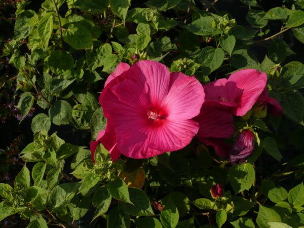 Hibiscus Moscheutos Rubra