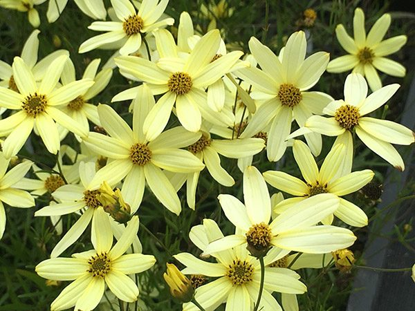 coreopsis-vertisilata-moonbeam