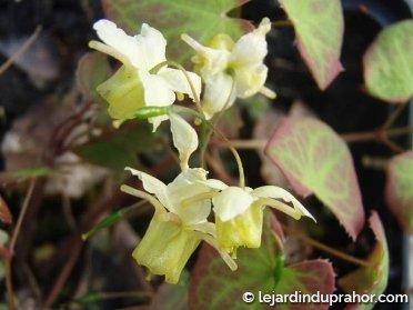 epimedium-versicolor-sulphureum