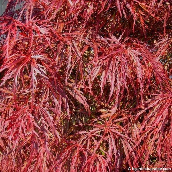 Acer Dissectum Crimson Queen