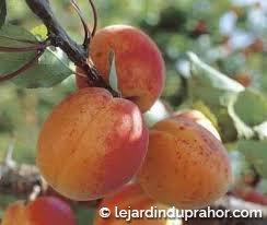 abricotier bergeron