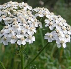 achillea millefolium Weibes wunder jpg