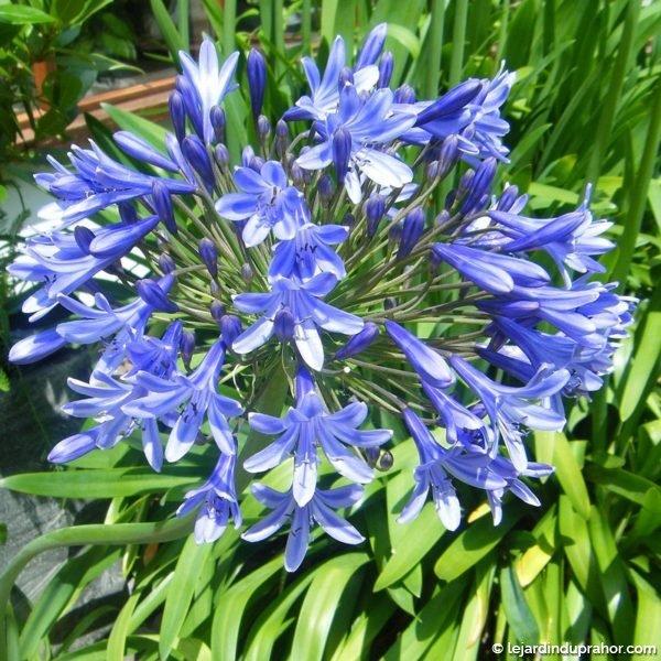 agapanthus_blue_triumphator_-_agapanthe_bleu_ciel_-_fleur