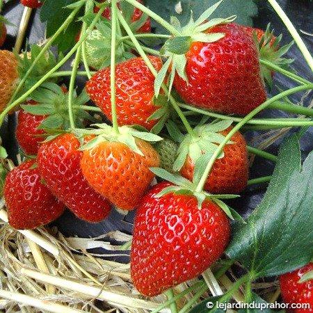 fraisier charlotte