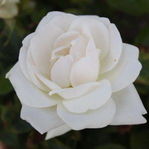 rosier grimpant virgo