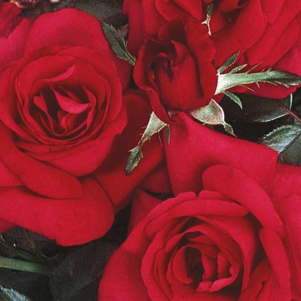 rosier buisson grand huit