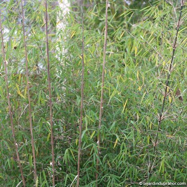 borinda-angustissima