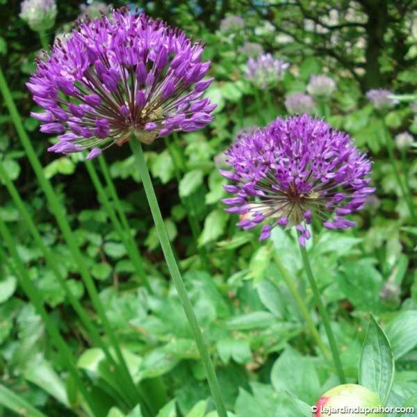 Allium-Aflatuense-Purple-Sensation-51525-2